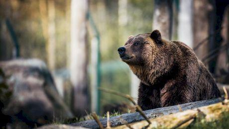 Curiozități despre ursul carpatin. Unde trăiește, cum arată, ce mănâncă?