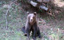 Câți urși bruni mai sunt în România? Câți urși ar trebui să fie?