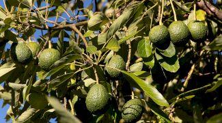 Cum arată fructele de avocado în copac? Cum se coace avocado?