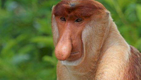 Cum arată maimuța năsoasă? De ce i se spune maimuța năsoasă?