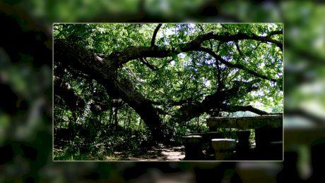 Care este legenda stejarului îngenuncheat? Unde se află acesta?