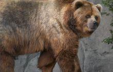 Cât cântărea cel mai mare urs din istorie? Unde a trăit?