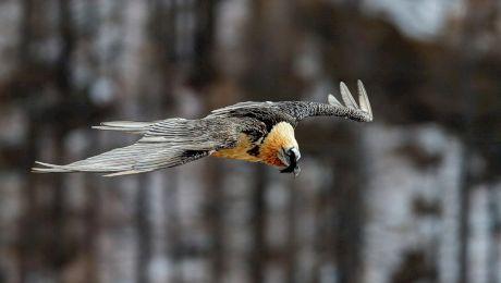Cum arată vulturul zăgan? Când a fost văzut în România?