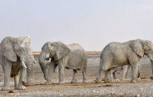 De ce are elefantul trompă? La ce îi folosește acest organ elefantului?