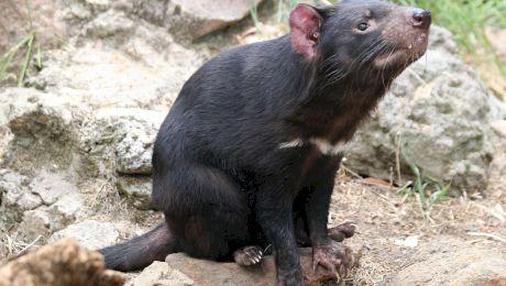 Diavolii tasmanieni au ucis o întreagă populație de pinguini, pe o insulă