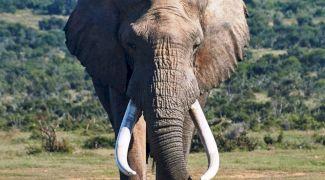 De ce este fildeșul de elefant atât de prețios? Care este explicația?
