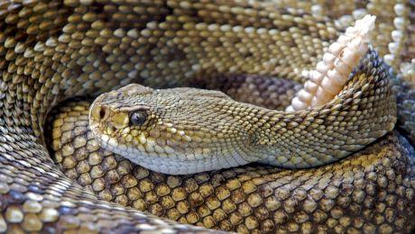 Curiozități despre șerpi. De ce nu au șerpii picioare?