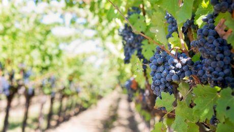 Câte boabe de struguri sunt necesare pentru o sticlă de vin?