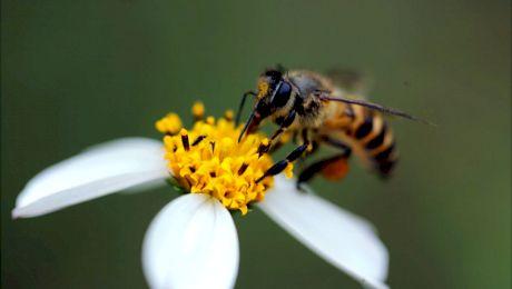 Curiozități despre albine. Cât trăiesc albinele?
