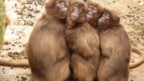 Curiozități despre maimuțe. Care este cea mai mare maimuță din lume?