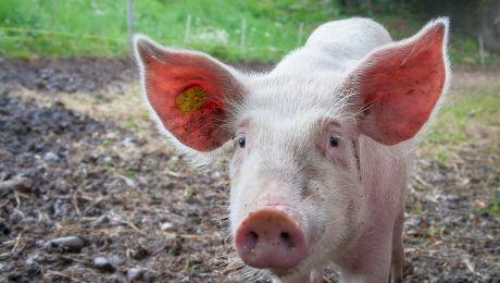 Ce este Marele Alb? Totul despre rasa de porci